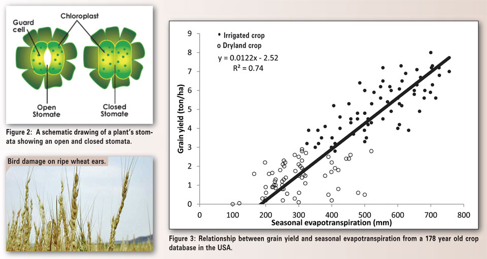 photosynthesis and transpiration increases More mesophyll layers increase photosynthesis but reduce the surface area that absorbs radiation and loses water through transpiration root production increases under dry conditions by shifting the allocation of carbon from leaves to roots.