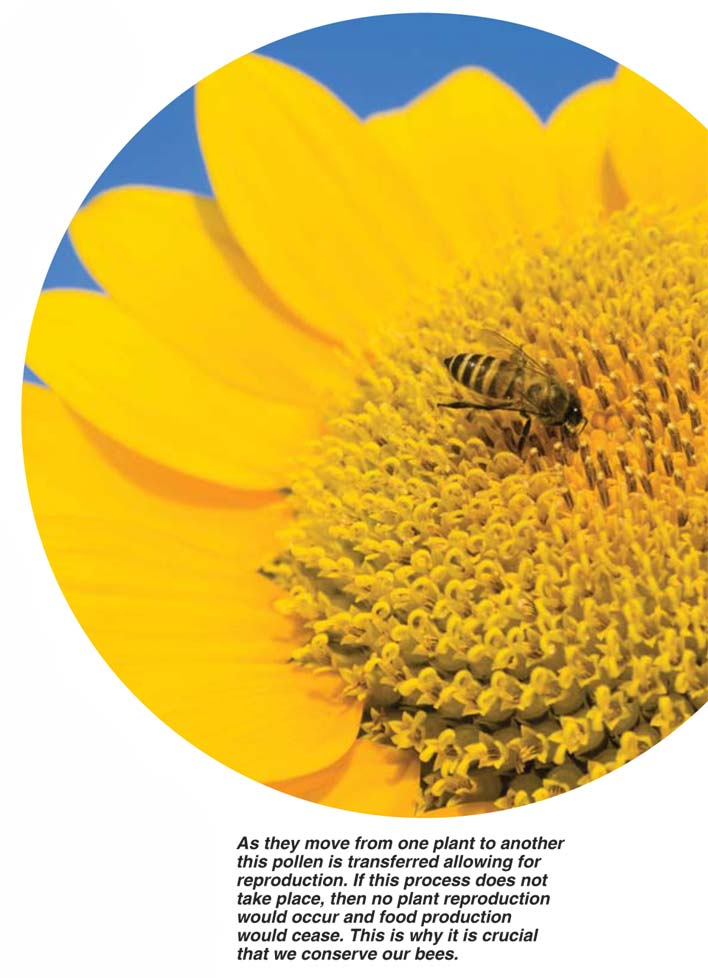 BEES ARE VIPs (very important pollinators of sunflowers)