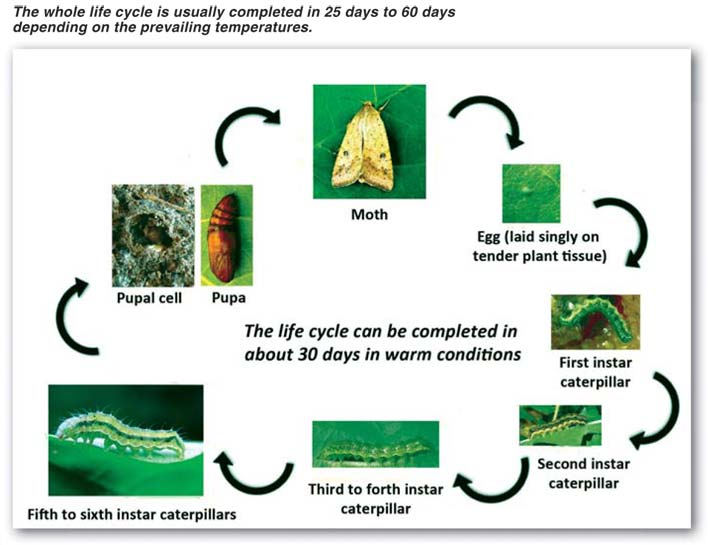 Control of bollworm in soybeans