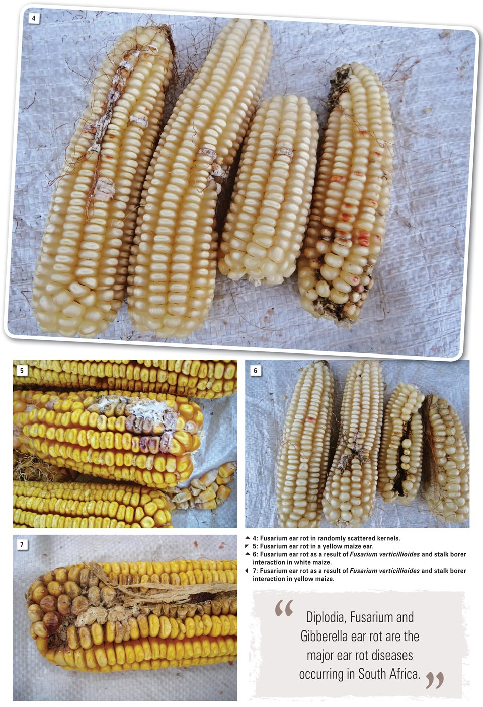 Ear rots of maize a continuous threat to food safety and security f verticillioides in particular is generally associated with insect or bird damage on maize ears the fungus appears as pinkwhite mycelial growth on ccuart Images