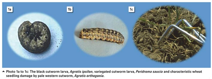 Efficacy of entomopathogenic nematodes for control of cutworms