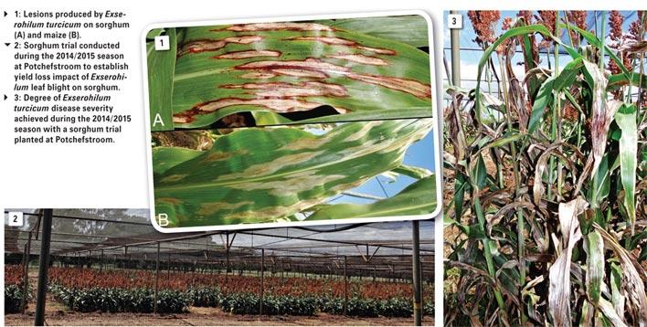 A look at Exserohilum leaf blight of sorghum
