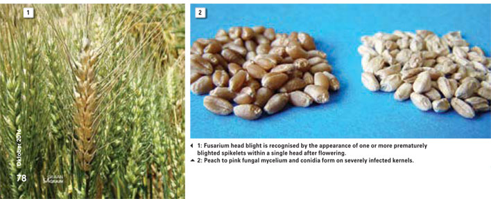 The dangers of mycotoxin-producing Fusarium species on wheat