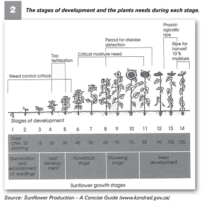 SUNFLOWERS and its stages of development