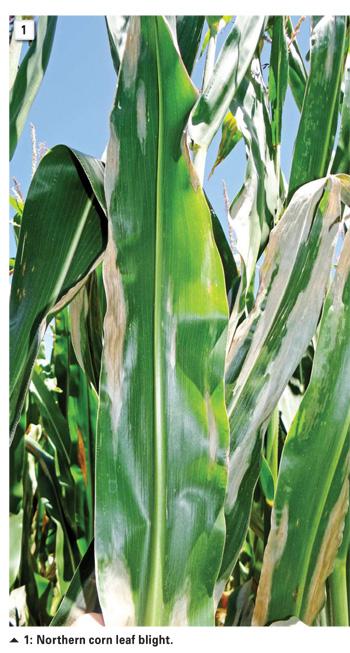 northern corn leaf blight