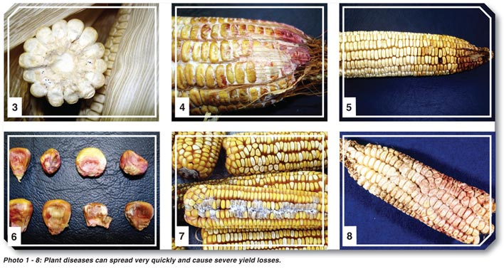 Look out for these diseases in maize