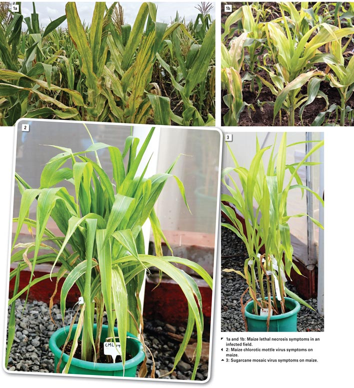 MAIZE LETHAL NECROSIS: Possible threat to local maize production