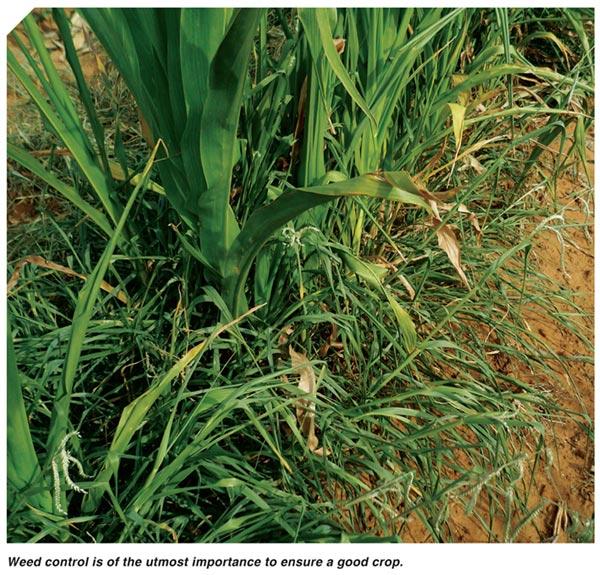 Nurture your maize from germination to harvest