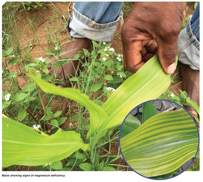 Most common nutrient deficiency symptoms in maize