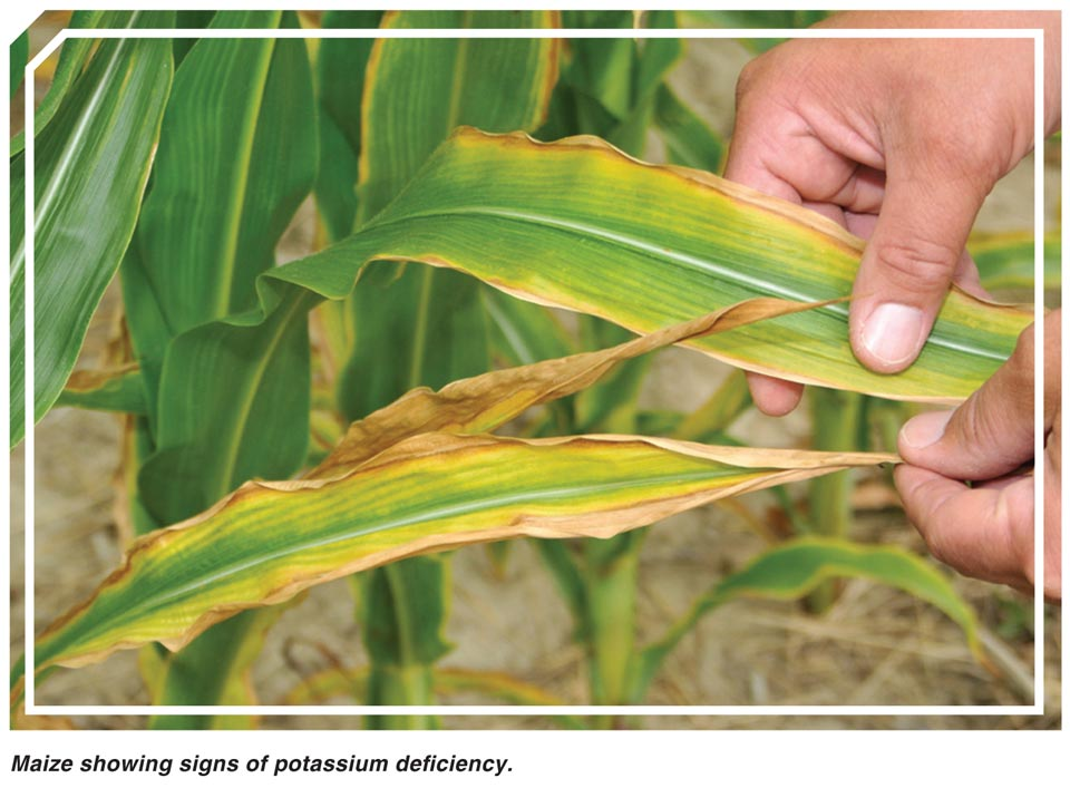 Deficiency symptoms of macro nutrients and micro nutrients in plants crops