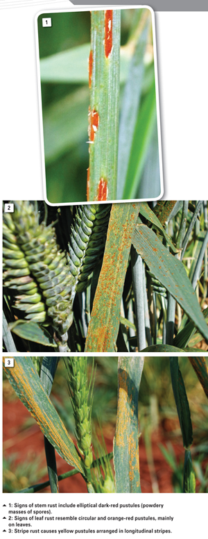 The use of resistant cultivars for control of wheat rusts