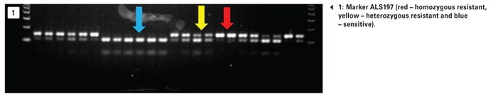 Molecular genotyping of target-site resistant ryegrass: A harsh reality…