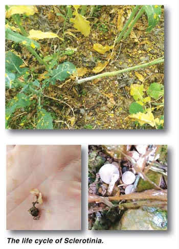 CANOLA – cut Sclerotinia stem rot down to size