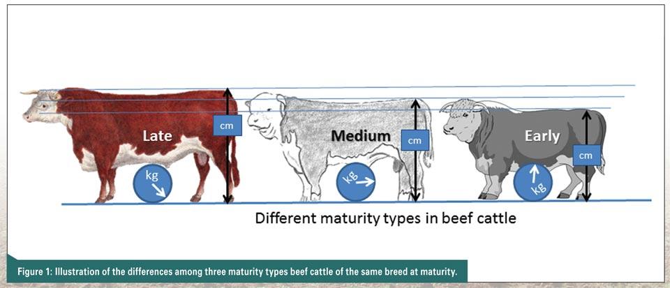 Carcass yield characteristics of cattle and buffalo