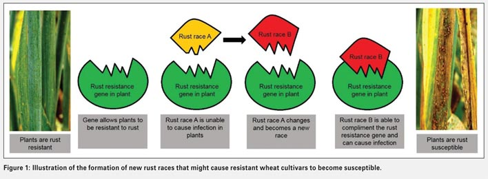 Host plant resistance to wheat rusts